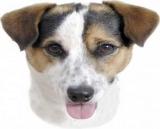 Aufkleber Jack Russel Terrier
